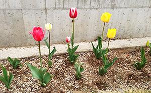 tulip2013.jpg
